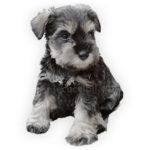 vendita cuccioli schnauzer