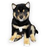 vendita cuccioli shiba inu