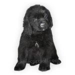 vendita cuccioli terranova