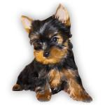 vendita cuccioli yorkshire toy