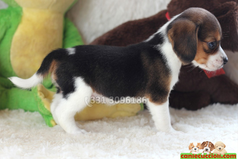 Vendita Cuccioli Beagle Milano Cani E Cuccioli