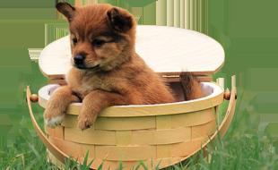Shiba Inu Cani e Cuccioli