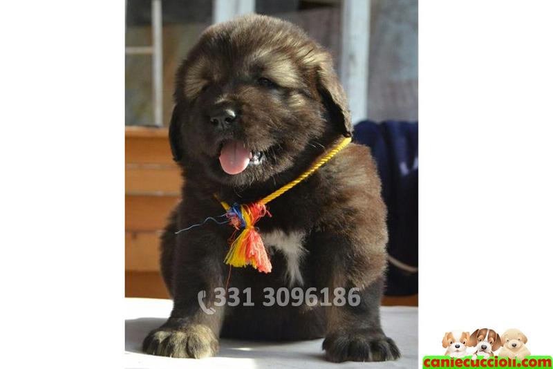 Vendita Cuccioli Pastore Del Caucaso
