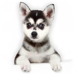 vendita cuccioli husky
