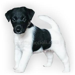 vendita cuccioli fox terrier