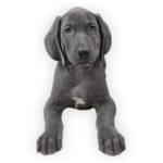 vendita cuccioli weimaraner